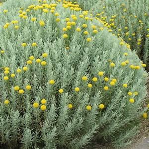 Plantes Et Jardin : santoline plantes et jardins ~ Melissatoandfro.com Idées de Décoration