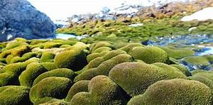 Antarctica U0026 39 S  U0026 39 Moss Forests U0026 39  Are Drying And Dying