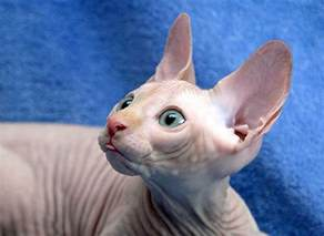 pharaoh cat learn more about hairless cats