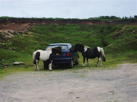 dartmoor wild ponies mystical burgle unattended caught act trying never leave