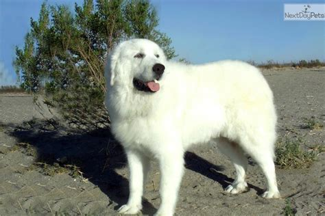 meet king a cute great pyrenees puppy for sale for 1 495
