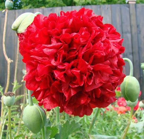 poppy peony oase poppy australian seed