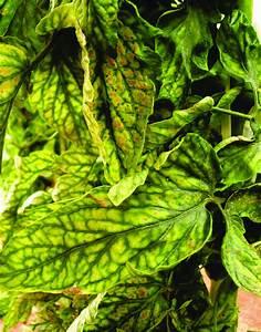 Tomato Chlorosis Virus On Plant Showing Leaf Symptom Of