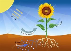 Photosynthesis - Stock Image C011  9010