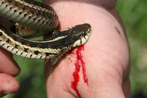 snake bite common garter snake facts and pictures reptile fact