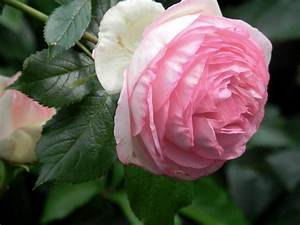 The 7 Best Climbing Roses For Your Garden