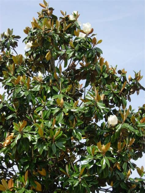 varieties of magnolia trees southern magnolia varieties pictures to pin on pinterest pinsdaddy