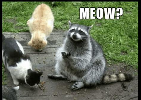 silly raccoon    cat    cheezburger