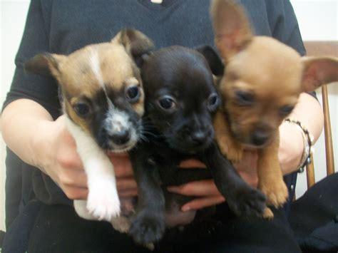 Super Cute Jachuauhua Puppies Ready Now Alfreton