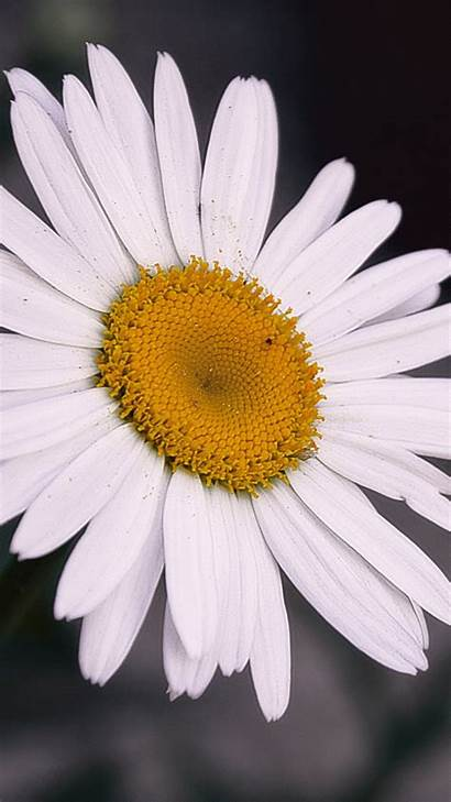 Daisy Backgrounds Desktop Iphone Flower Phone Credit