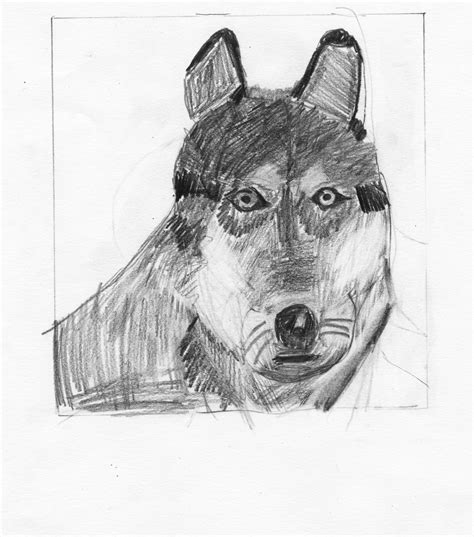 animal drawing classes wolf  cait proportions shapes