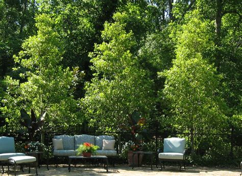 small trees for screening choosing small trees for a big impact state by state gardening