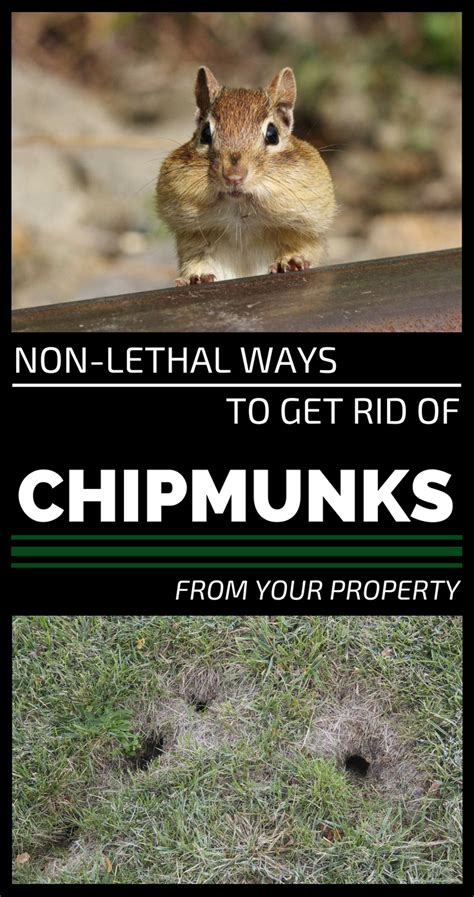 how to keep chipmunks out of your garden how to get a chipmunk out of your house 28 images six tips to avoid chipmunk damage to your