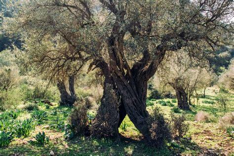 baum loch im stamm olivenbaum alles zum pflanzen pflegen 220 berwintern