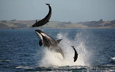 killer whale attacks dolphin  front  tourists telegraph