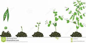 Life Cycle Of Pea Plant  Stages Of Pea Growth From Seed To