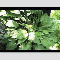 Transplant Hostas, How To Divide & Plant Hostas