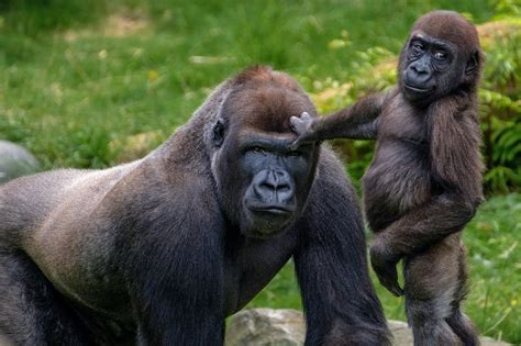 The more male gorillas look after young, the more young ...