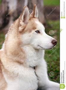 Husky dog portrait stock image. Image of elegant, animal ...