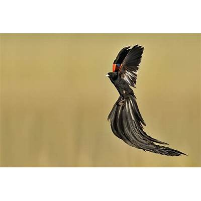 Eric Landsberg Wildlife Photography: Long-tailed Widowbird