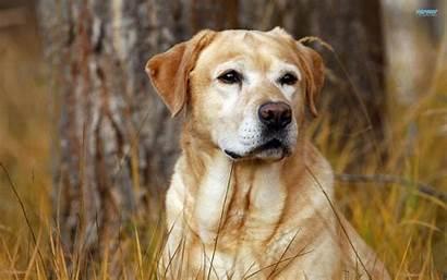 Labrador Wallpapers Lab Retriever Puppy Yellow Cave