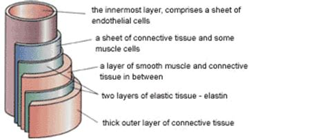 proteins  structures ligaments  arteries