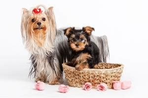 do yorkies shed do terrier dogs shed do yorkies shed a lot