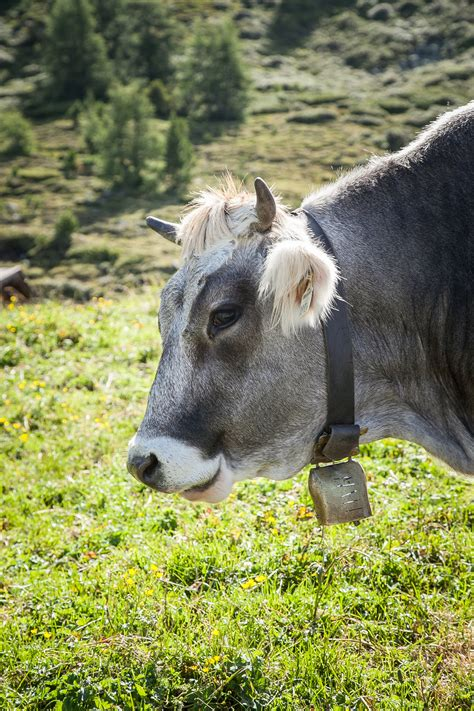 cows austria cow cattle grey mammal animal pasture alpine horse rural milk wildlife summer ruminant donkey ear fauna highlands agriculture