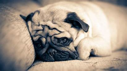 Pug Puppy Wallpapers Sofa