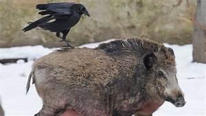 Was Fressen Raben Gerne : intelligenz der tiere raffinierte rabenv gel wissen ~ Lizthompson.info Haus und Dekorationen