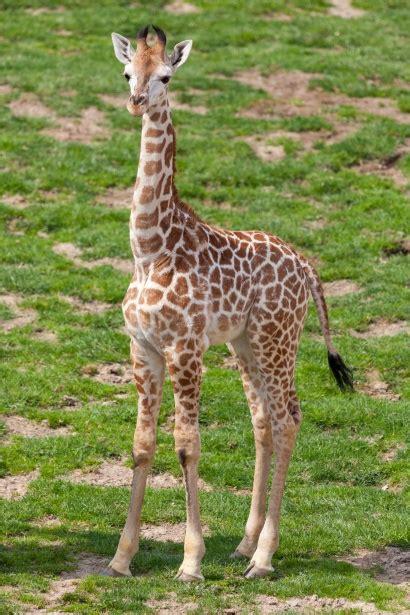 baby giraffe  stock photo public domain pictures