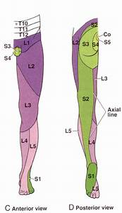 Leg Dermatomes Related Keywords - Leg Dermatomes Long Tail ...