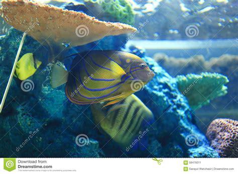 emperor angelfish stock photo image