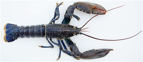 cuisiner un homard vivant le homard cuisine à l 39 ouest