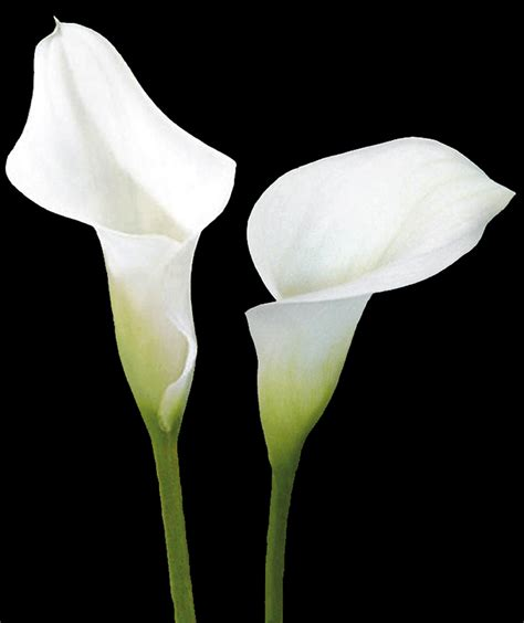 white calla flower magnificence and beauty white calla lilies combine these two attributes with purity and