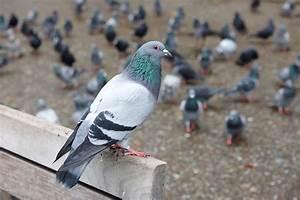 Faire Fuir Les Pigeons : comment faire fuir les pigeons ~ Melissatoandfro.com Idées de Décoration