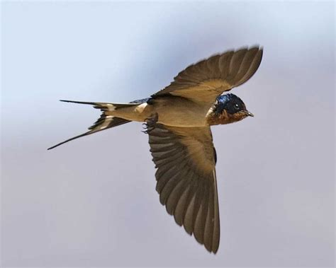what do barn swallows eat barn audubon guide to american birds