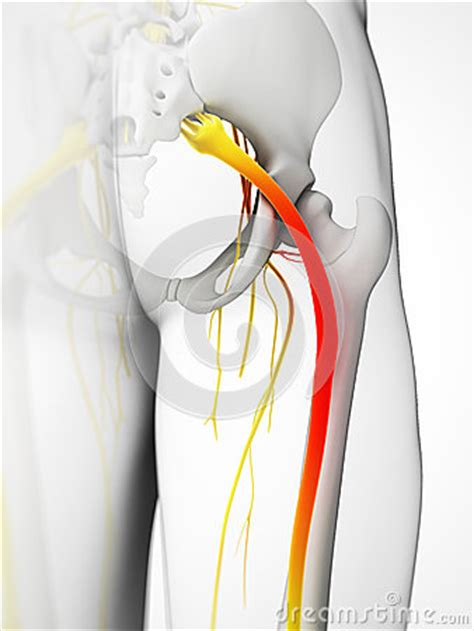 highlighted sciatic nerve royalty  stock photo image