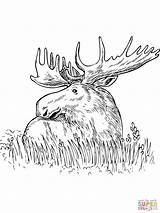 Moose Coloring Printable Elk Grass Outline Head Drawing Sitting Template Getcolorings Templates Cobra King Sketch sketch template