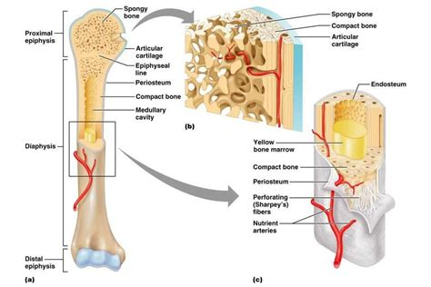 Basic Bone Diagram by Image Result For Medullary Cavity Asr Basic Anatomy