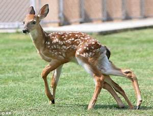 Pictured: The SIX-legged deer discovered after dog attack ...