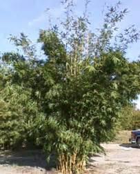 growing bamboo  georgia uga cooperative extension