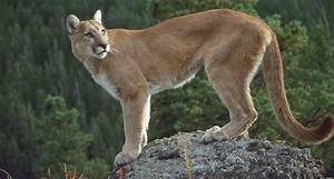 Animal En G : avistan pumas en zona de colombia en la que no hab a ~ Melissatoandfro.com Idées de Décoration