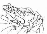 Frog Coloring Printable sketch template