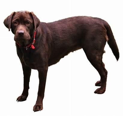 Dog Transparent Labrador Retriever Animals Puppy Perro