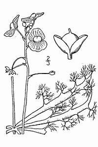 Utricularia Inflata