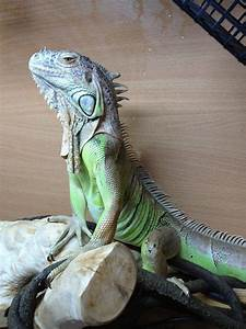 male iguana pictures | NE England possible rehoming of a ...