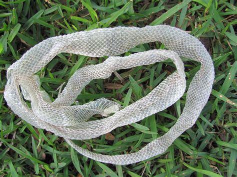 brown snake skin shedding snake skin shedding fallen snake shedding snake