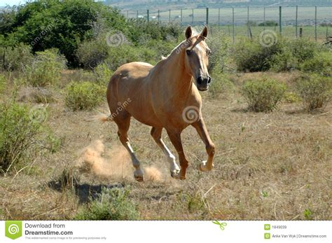 horse african running africa lopen paard afrikaanse het south royalty preview paddock farm brown light dreamstime