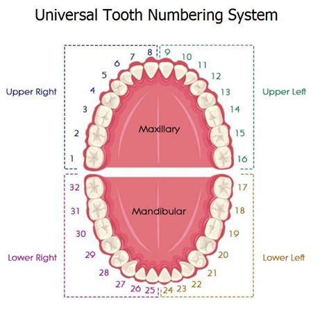 universal tooth numbering system dental education